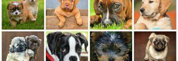 Top 10 der intelligentesten Hunderassen