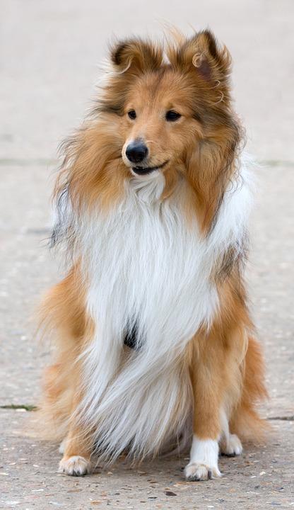 """Shetland Sheepdog (""""Sheltie"""")"""